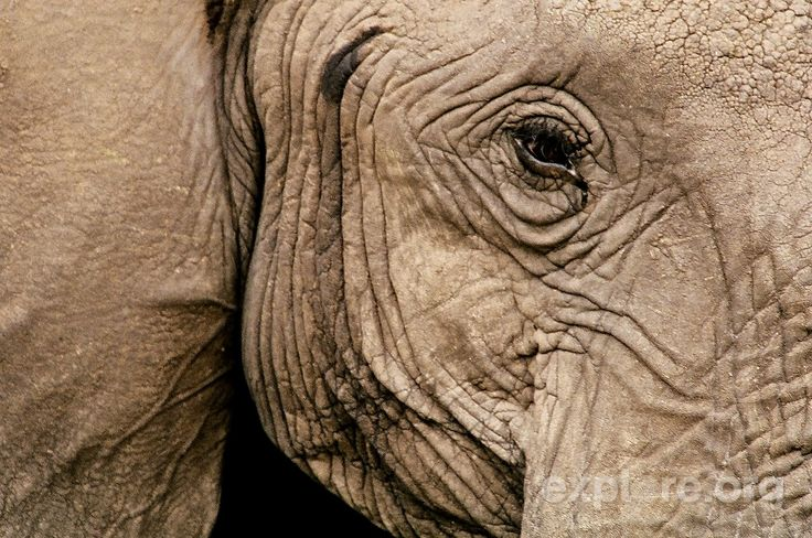 Close Up Face Photography | Close-Up of an Elephant's Face Photo from explore.org