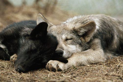 sleeping wolf pups  #nature #wolf #pup