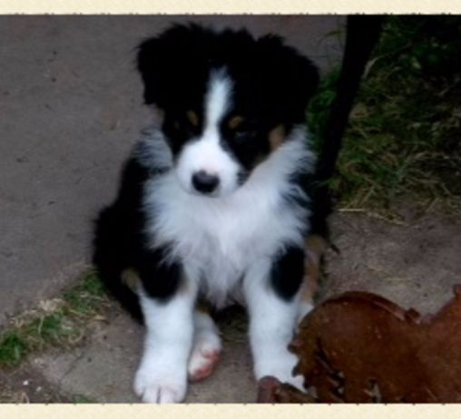 Wild Wings Australian Shepherds - Australian Shepherd Breeders, Australian Shepherd Puppies For Sale, Australian Shepherd Puppies For Sale in Texas