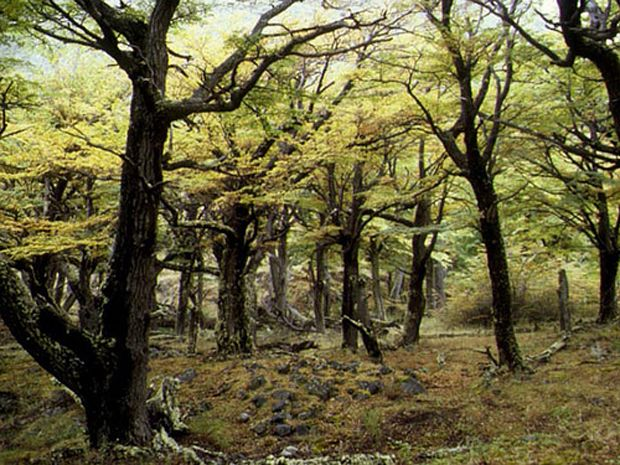 Deciduous forest at Nothofagus pumilio. This photo was taken at Torres del Paine National Park (Chile).