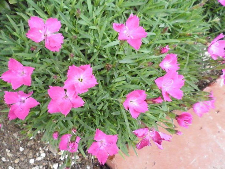 撫子 ナデシコ Danthus 北半球の温帯域に約300種分布 中国ではセキチクが古くから園芸家され平安時代に渡来 日本固有種もカワラナデシコ等4種有り ヨーロッパでも自生したものを改良しカーネーションの元も作られた カーネーションは江戸時代中頃にオランダを通じて渡来した 現在のナデシコ園芸種は数知れず 芝生の様な葉っぱからピンクの花が  何かしら 写真を撮ってからよく見たら花の萼からナデシコと推察 てっきり芝生かと #flower#flowers#flowerlove#flowerslove#flowerslovers #ナデシコ#撫子#dianthus http://gelinshop.com/ipost/1518585394118217685/?code=BUTGV7Bg0_V