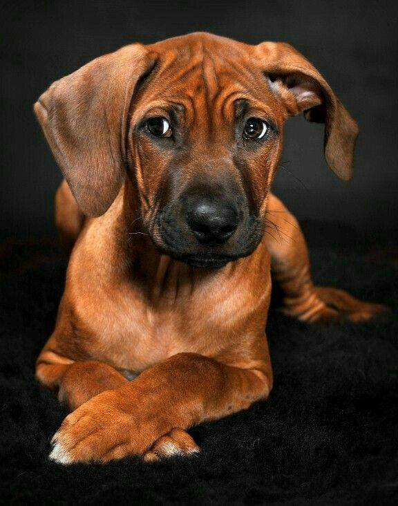 Rhodesian Ridgeback Therapy Dog Training