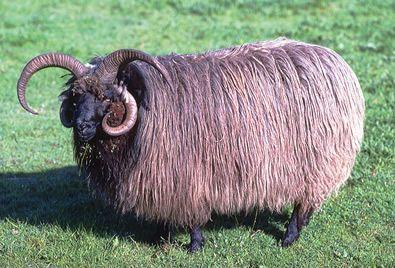 navajo goats   Livestock Breeds for Self-Sufficiency, Part 1: Navajo-Churro Sheep