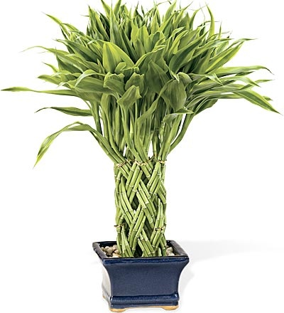 Triple-Braided Lucky Potted Bamboo Plant