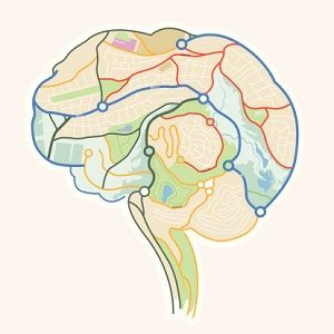Neuroplasticity is the ability of the brain to form new connections—as well as eliminate old ones—throughout life. In previous generations, people often believed that the neural connections of the brain were fixed by a certain age. We now know that the brain continues to develop and rewire itself throughout life and that experience can change the brain's structure and functioning.