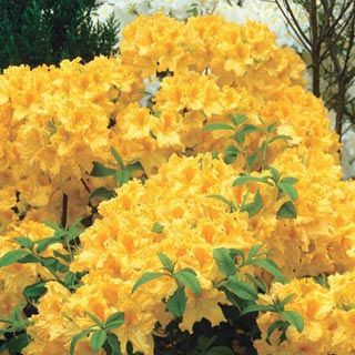 Golden Lights Hardy Azalea  cold-hardy variety successfully withstands harsh temperatures down to -30 degrees F! Covered with bright yellow bloom trusses in late spring. The attractive dark green foliage turns various shades of red during the autumn months. Does best in full to partial shade. 3-5 ft. tall shrub has good resistance to mildew, pests and disease. Potted plants. Zones 4-8. Zones: 4 - 8. Hardy to -30° F.  Height: 3 - 5'. Shade Requirement: Full shade to partial shade.