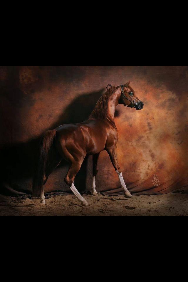 Enzo 1999 Arabian stallion (Padrons Psyche x RD Bey Shahmpane, Bey Shah)