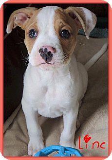 Fort Wayne, IN - Boxer Mix. Meet Linc, a puppy for adoption. http://www.adoptapet.com/pet/17662395-fort-wayne-indiana-boxer-mix