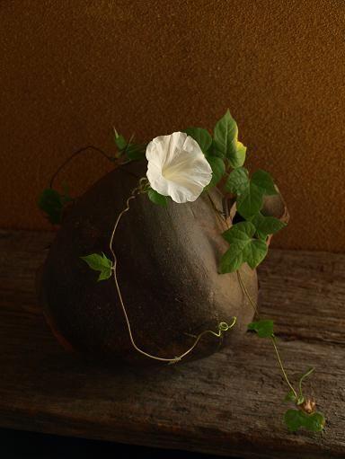 二期作// 今年は朝顔の種を、手引き通りに五月の連休に蒔いたところ、六月に花が咲き、七月末には実を結んでしまった。 採った種を八月に撒き直し、九月の初めからもう一度花を見ている。 朝顔は秋が似合う。 日増しに透んでゆく朝、小ぶりになってゆく花。