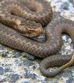 How To Make Snake Anti venom.  http://www.thegoodsurvivalist.com/how-to-make-snake-antivenom/