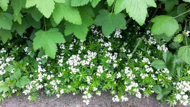 Galium odoratum - great spring flower groundcover