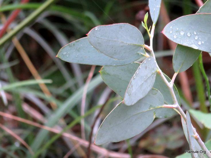 Nouveau au jardin: eucalyptus niphophila - Un petit jardin à tendance exotique en Touraine