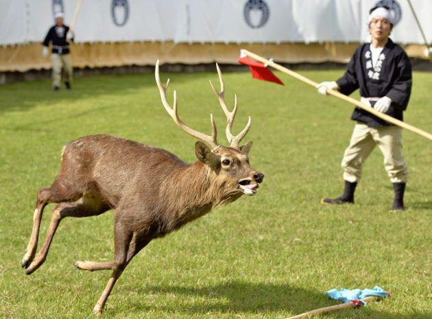 奈良、鹿の角切り