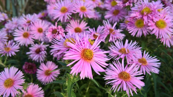 Asters...michaelmas daisies