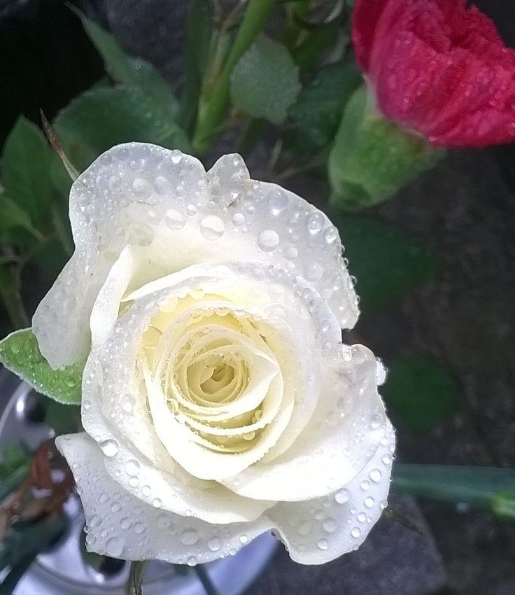 white flower  white rose