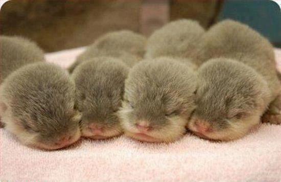 Otter infants
