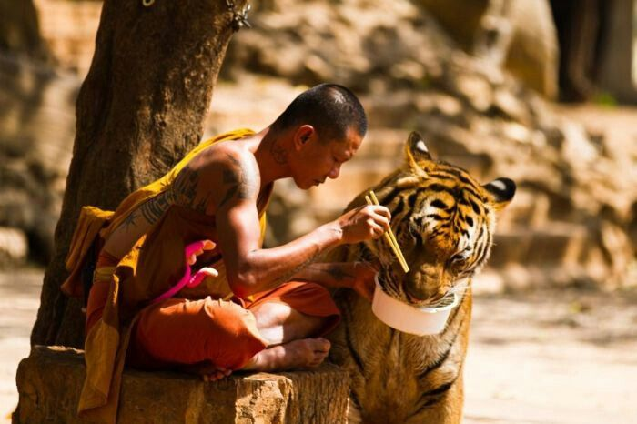 A man feeding a tiger from his own bowl