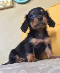 AKC miniature dachshund - For Sale