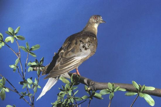 Martha, the last surviving member of the passenger pigeon species. Photo courtesy Natural History Museum