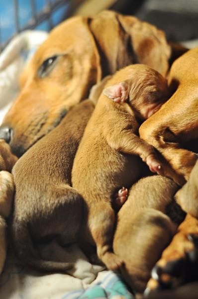 Beyond sweet. Mama dog and her puppies: Mothers Day, Be A Mom, Families Dinners, Dachshund Puppys, Puppys Faces, Baby Puppys, Wiener Dogs, Little Puppys, New Mom