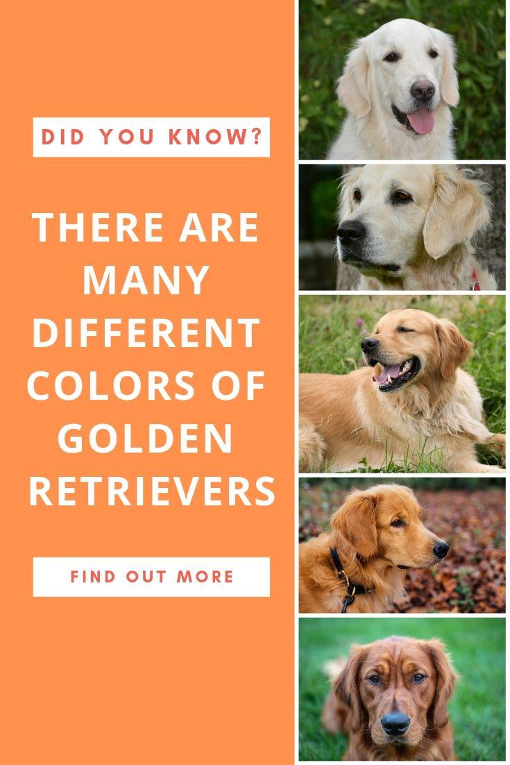 The Beautiful Shades Of Golden Retrievers Golden Retriever