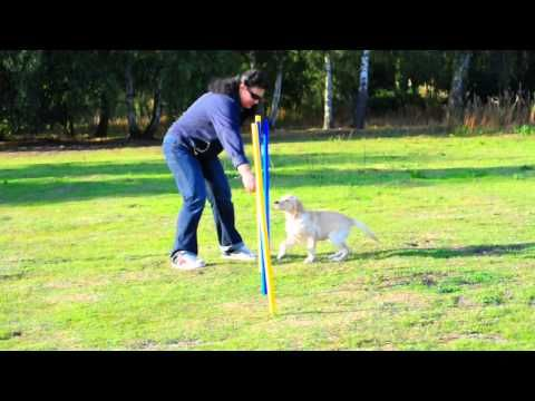 Labrador Puppy Introduction To Agility (Slalom)