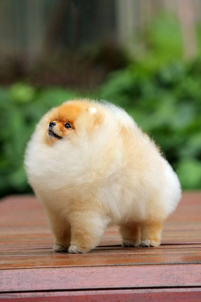 This pup loves it's new hairstyle! We can see it loving the Pomeranian names of Poof, Bouffant or if it's a boy dog...Harry.  Here's other ideas... http://www.dog-names-and-more.com/pomeranian-names.html