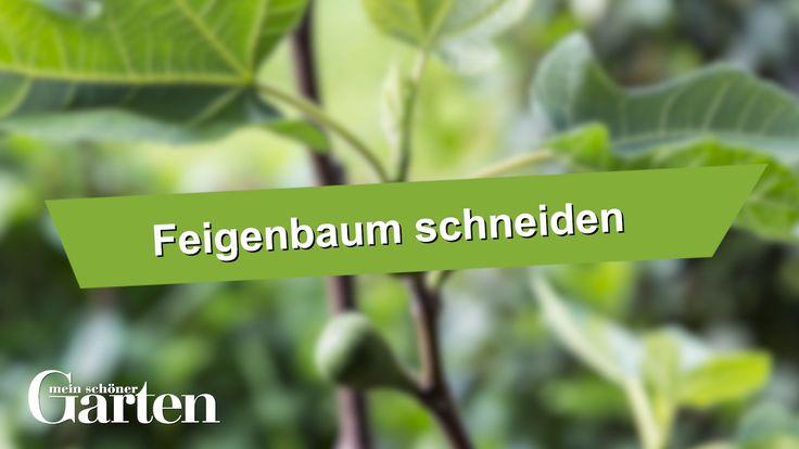 Feigenbaum richtig schneiden