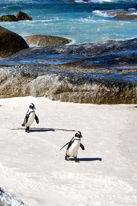 Cape Town, South Africa -- penguins are hard to resist! (And the scenery isn't bad, either ;)