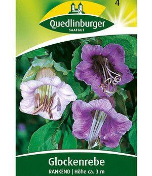 Quedlinburger Rankende Glockenrebe,1 Portion
