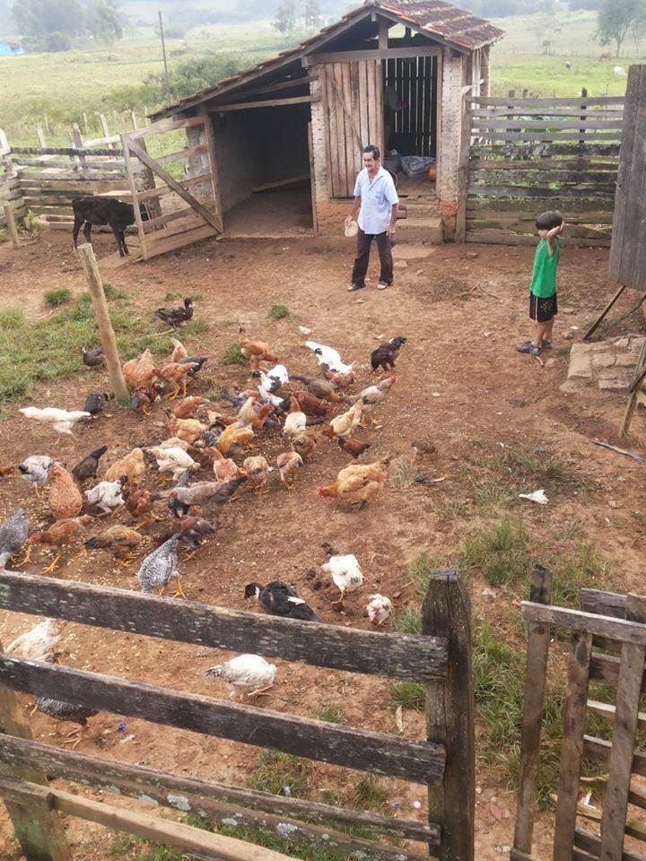 Pi pi pi pi pi pi pi pi e todas vinham comer milho. E depois, é só recolher os ovos. Meu Brasil está cheio de cantinhos como este.