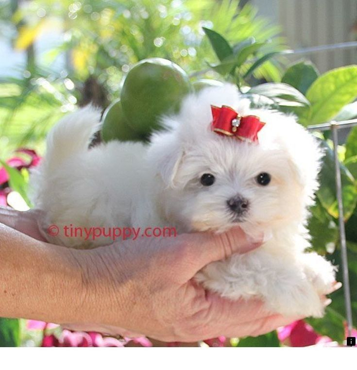 Click On The Link To Get More Information American Bulldog Puppies Just Click On The Link For Maltese Puppy Teacup Puppies Maltese Maltese Puppies For Sale