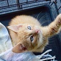 8/13/17 Poe is for Adoption! Adopt A Pet :: Hippolyta - Louisiana. #adopt #foster #louisiana #ffr #forgottenfelines #kitten #rescue
