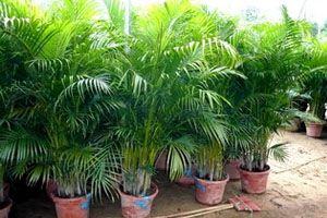 L'areca (Chrysalidocarpus lutescens)