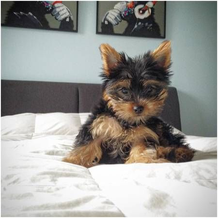 Rehoming My Sweet Little Yorkie Yorkie Rehoming Dogs