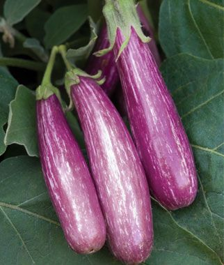 A perfect eggplant to grow in containers because of the compact plants, and the short, rather thin fruit, which are a lovely purple and white. Grow in raised beds or containers along with lettuce or cucumbers as companion plants.