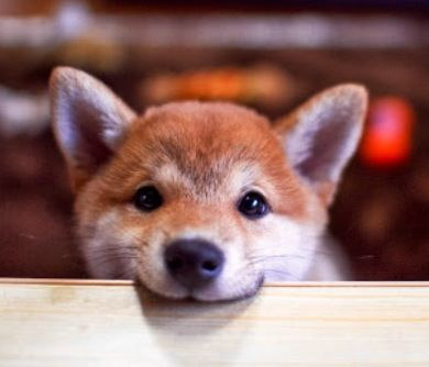 Cute shiba uni