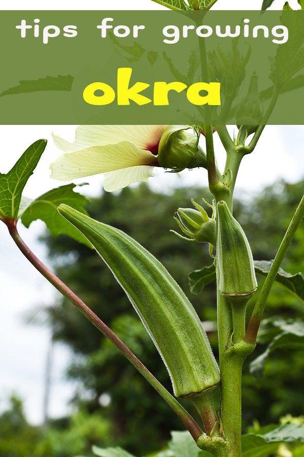 How to Grow Okra in Pot