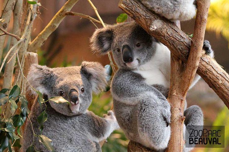 Les #koalas font partie des rares animaux dans le monde à manger les feuilles de l'eucalyptus, cette plante étant toxique pour la majorité des autres espèces.