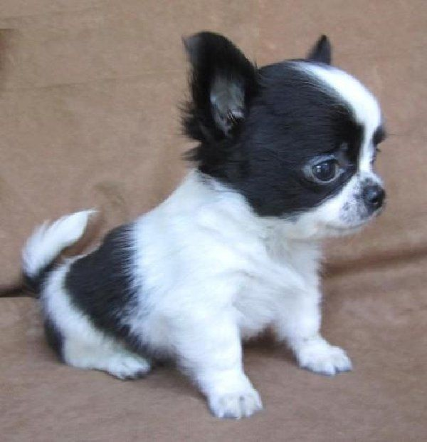 CUTE TEACUP CHIHUAHUA ... ...........click here to find out more http://googydog.com More