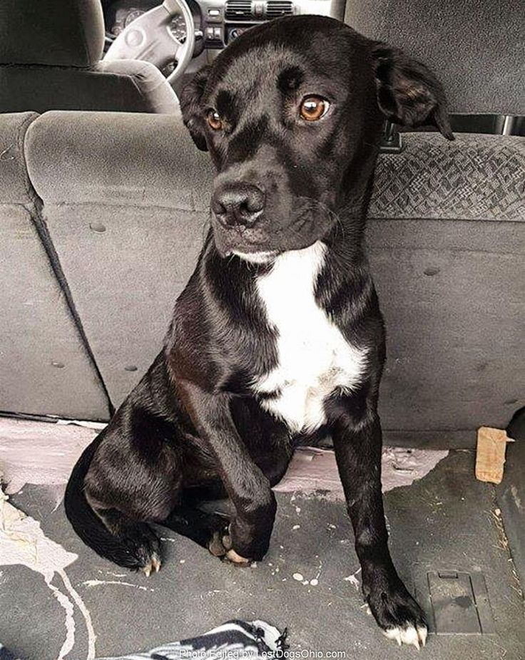 Found Dog - Female  - Amesville, OH, USA 45711 on July 08, 2017 (13:00 PM)  Do you know this Dog? #Amesville (State Route 329 S, Sand Rock Rd & Tick Ridge Area)  #OH 45711 #Athens Co. , #Found #Dog 07-08-2017!, Female #Pit Bull Mix Black / White/  More Info, Photos and to Contact: http://www.helpinglostpets.com/petdetail/?id=1810992  To see this pet's location on the HelpingLostPets Map: http://www.helpinglostpets.com/v2/?pid=1810992  Let's get this dog home! #lostdogsohio  #HelpingLostPets