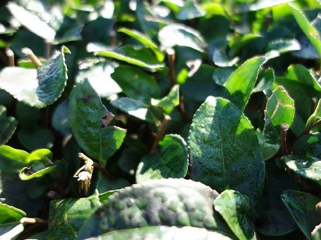 秋の茶の葉に朝露。