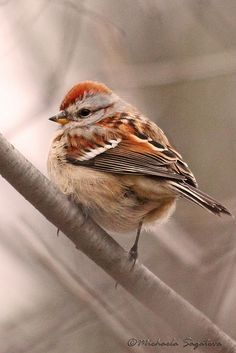 Tree Sparrow, lots come to my bird feeder so sweet! <3