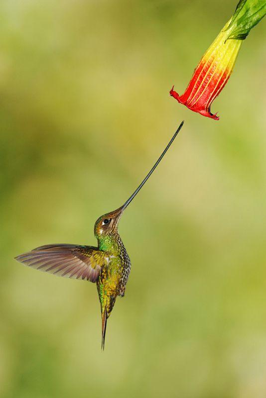 Ecuador Female Swordbill - Cyrano de Bergerac, move over.