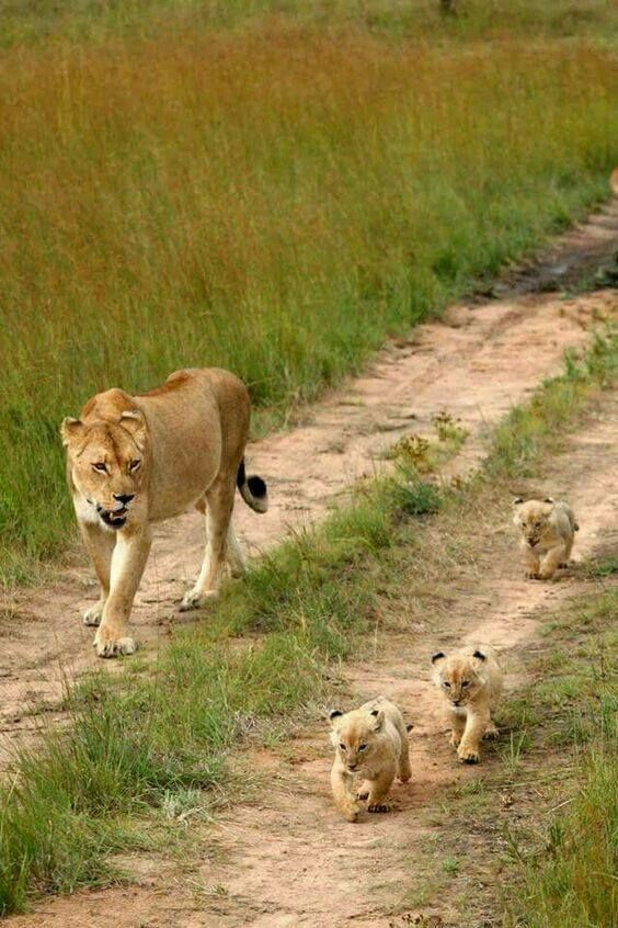 Look at the cubs - aren't they the cutest?