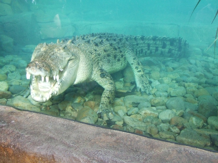 Get up close and personal with a bigggg Crocodile in Cairns at the Wildlife Dome.  #Cairnsvacation #TheReefHotelCasino