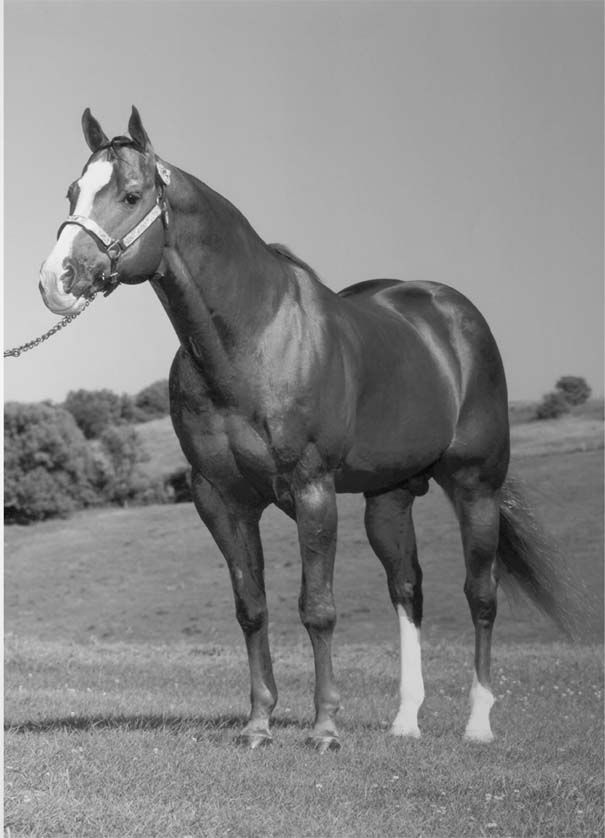 a history of the quarter horse By melanie huggett - practically everyone has heard of the quarter horse the most populous breed worldwide, as of 2008 there were 3,189,605 quarter horses registered.