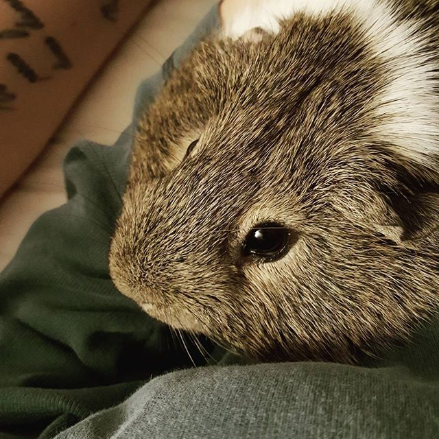 Lap time w/ Sammy. #guineapigs #piggies #cavy