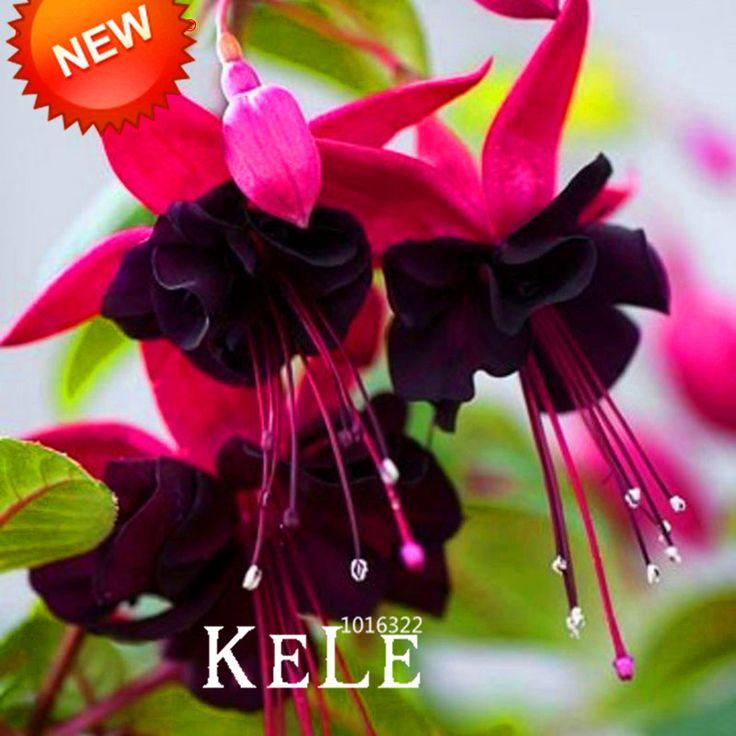 熱い販売!紫ダブル花びらフクシア種子鉢植え花の種鉢植え植物ぶら下げフクシア花50ピース/ロット、# QS1EPX