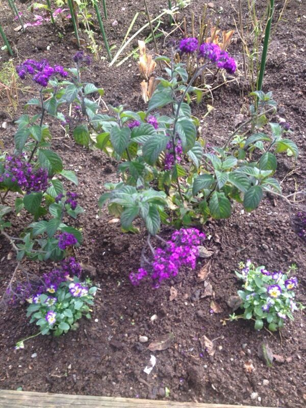 Heliotrope (helioptrope): Heliotrope is an annual that grows to about 2 foot by 2 foot typically with purple flower clusters. They can also be found in white as well. This old fashioned plant is the base for several perfumes as its sent is somewhere between an intense vanilla or sometimes baby powder. It can be very susceptible to a fungal disease called rust if it doesn't have good heat and air circulation.   Not a perennial here unless you have a greenhouse and even then would be a BIG…